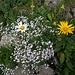 Vielfältige Flora  auf der Altenalp