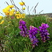Hedysarum hedysaroides / Ranunculus montanus