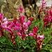 Onobrychis montana