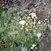<b>Sassifraga verde-azzurra (Saxifraga caesia).</b>