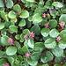 <b>Salice reticolato (Salix reticulata).</b>