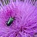 Prächtiger Käfer auf einer Distelblüte
