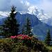 Rhododendrons et Jungfrau dans la brume