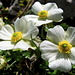 Ranunculus alpestris