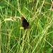 Schmetterling auf der Flucht
