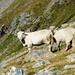Aufstieg zum Campo Tencia - Auch die Schafe geniessen die ersten Sonnenstrahlen