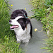 Suonenhund Timi geniesst ein Bad