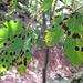 Leoparden-Ahorn. Frage mich ob das eine Krankheit ist?