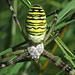 """Die Wespenspinne (Argiope bruennichi) Eine wunderschöne, große """"Kuschelspinne"""" für die Spinnenfreunde...und sie ist kein bisschen eklig!!! / Un bellissimo ragno grande e soffice per gli amanti dei ragni...e non è mica schifoso!!!<br /><br />Übrigens: Nach der Paarung werden die deutlich kleineren Männchen oft von den Weibchen aufgefressen (eingesponnen und ausgesaugt!) / Nota: dopo l`accoppiamento spesso la femmina divora il maschio, chi è molto più piccolo che la femmina.<br />Mehr Interessantes zu dieser Spinne siehe auch auf dieser schönen [http://www.wespenspinnen.de/ Seite]!<br />"""