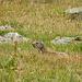 Viele Murmeltiere auf dem hinteren Talgrund