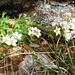 Pizzo Barone - Polsterblumen grüssen unter dem Gipfelblock hervor