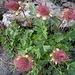 Blütenstände der kriechenden Nelkenwurz