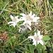 Und sie blühen auch im Glarnerland - Edelweiss