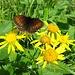 Alle sind zufrieden: die Schmetterlinge und die Blumen