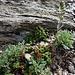 Giardino roccioso con Genepì