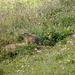 Eines der vielen Murmeltiere