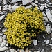 Fetthennen-Steinbrech (Saxifraga aizoides). Die seht ausdauernde Art wächst sogar in der Arktis; in den Alpen kommt sie bis zu einer Höhe von 3100m vor.