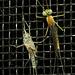 Eine Eintagsfliege (Ephemeroptera) hat sich gerade erst zum letzten Mal gehäutet / appena spellata per l`ultima volta.