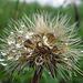 Regentropfen auf den Samen / Gocce d`acqua sui semi
