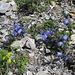 Scheuchzers Glockenblumen (?) scheinen die Flyschhalden zu mögen