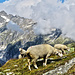 sheep in front of the Fieschergletscher