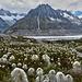 cotton grass and Aletschgletscher