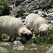 Die Schafe lassen sich von uns kaum stören