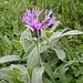 Diese Schönheit kenn ich noch nicht! evtl. Bergflockenblume (Centaurea montana). Danke Jürgen!