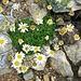 Leucanthemopsis alpina (L.) Heywood<br />Asteraceae<br /><br />Margherita alpina.<br />Marguerite des Alpes.<br />Gewoehnliches Alpenmargerite.