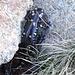 Salamandra de Gredos