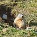 Scheint ein harter Winter zu werden - dem Fett nach zu urteilen, das sich die Murmeltiere angefressen haben.