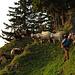 Am Grat haben wir leider die noch schlafenden Schafe geweckt / In cresta purtroppo abbiamo svegliato le pecore che avevano ancora dormito.