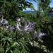 Alpen-Mannstreu (Eryngium alpinum) am Pürschling