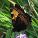 Aglais urticae, Kleiner Fuchs, Flügelunterseite / rovescio di ali