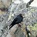 Gracchio alpino (Pyrrhocorax graculus) nei pressi della vetta del Pizzo Centrale.