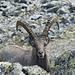 Un maestoso stambecco (Capra ibex).