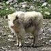 ... beherbergt eine Herde Yaks, hier ein Youngster