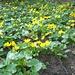 Gelb leuchtet's im Wald: Sumpfdotterblume (Caltha palustris)
