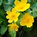 Sumpfdotterblume (Caltha palustris). Eine seltene Eigenschaft dieser Pflanze ist, dass die Blüten bei Regen geöffnet sind und sich dabei mit Wasser füllen. Die Staubbeutel und Narben stehen auf gleicher Höhe wie der Wasserspiegel, so dass es zur Selbstbestäubung kommt (Regenbestäubung).<br /><br />