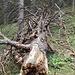 Ein alter abgestorbener Baum liegt über dem Weg