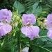 Diese Blumen gab es heute reichlich an der Zahl, auch noch in anderen Farben<br /><br />Nachtrag: [https://de.wikipedia.org/wiki/Dr%C3%BCsiges_Springkraut<br /> Wikipedia]<br /><br />
