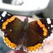 Foroglio - Die Schmetterlinge mögen mich doch: Wieder ein Admiral!