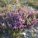 oberhalb der Bergstation wächst großflächig Besenheide (Calluna vulgaris)