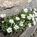 eine weitere hübsche Gruppe alpiner Blumen