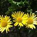 weitere leuchtende gelb blühende Blumen