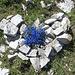 Schusternagerl (Gentiana verna)