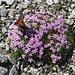Stengelloses Leimkraut = Polsternelke (Silene acaulis) mit Kleinem Fuchs
