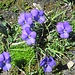 Langsporniges Veilchen = Stiefmütterchen (Viola calcarata)