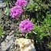 bin mir unsicher, ob das eine Alpen-Grasnelke (Armeria maritima) ist