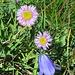 Einköpfiges Berufkraut (Erigeron uniflorus) und Glockenblume (Campanula scheuchzeri, hoffentlich, es gibt über 300 verschiedene Glockenblumenarten!)